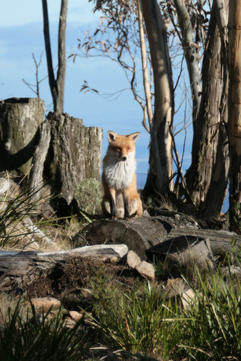 Hiking in Mount Macedon and came across a majestic fox sitting on a felled tree. Mammal Animal Animal Themes One Animal Plant Tree Nature Sitting No People Day Tree Trunk Land Trunk Animal Wildlife Animals In The Wild Looking Outdoors Fox Australia Wild Animal Wildlife & Nature Wildlife Photography Mt Macedon Victoria Australia Orange Fur Postcard Picture Fox In The Wild Winter