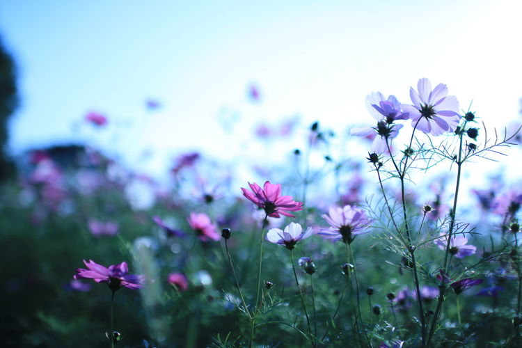 Flower Nature Fragility Pink Color No People Beauty In Nature Cosmos Flower Petal