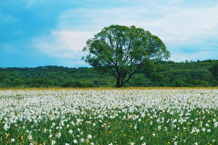 Narcissus Landscape Tree Weekend Relax Traveling Travel Photography Traveltime Wonderful Trip Flowers Carpathians Wonderfulplaces Tree Field Flower Landscape