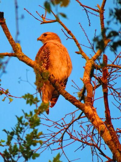 Wild hawk Hawk Hawks Hawks Of Eyeem Bird Bird Of Prey Tree Perching Branch Sky Animal Themes Hawk - Bird