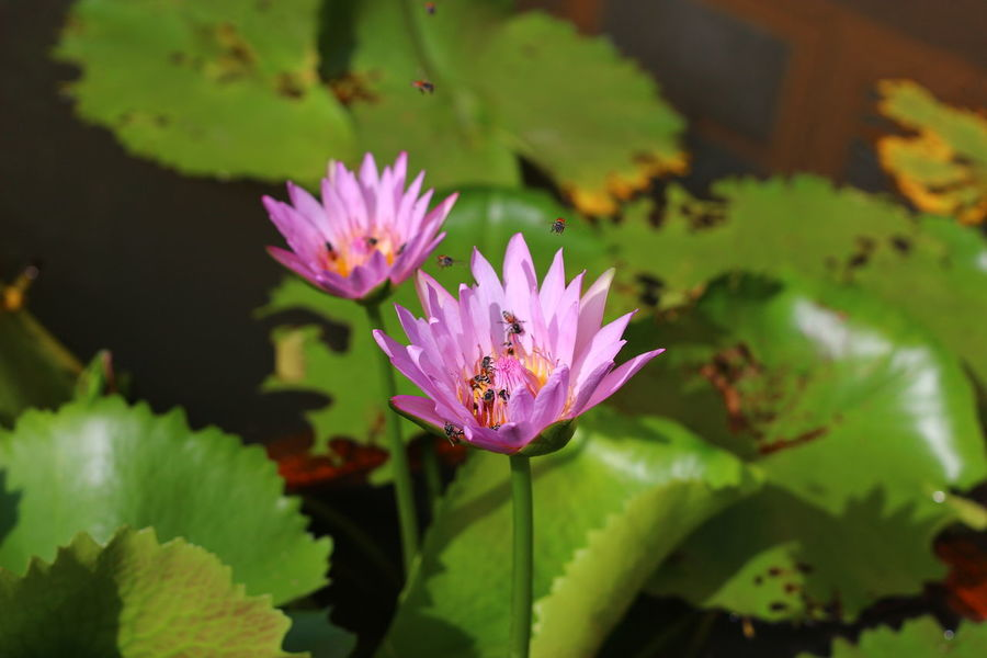 Beauty In Nature Bees Blooming Close-up Day Flower Flower Head Focus On Foreground Freshness Green Color Growth In Bloom Leaf Lotus Water Lily No People Outdoors Petal Pink Color Plant Pollen Pollination Purple Water Lily ดอกบัว ผึ้ง