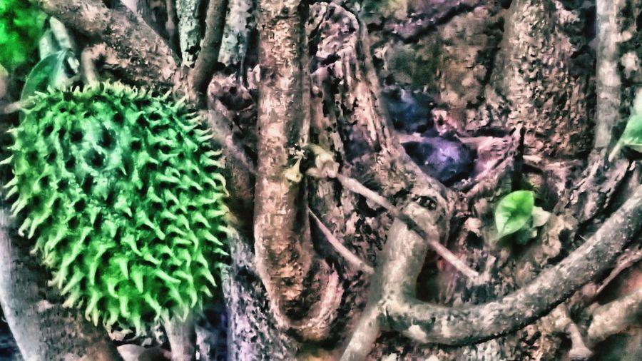 Hawaii Nature Open Edit Hawaiian Fruit Greenery Tree TreePorn Tree Roots