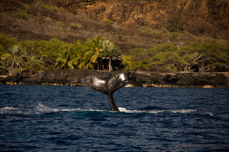 Hawaii Hawaii Life Kona Marine Life Marine Boat Life Salt Life Ocean Whales Water Humpback Whale Dolphin Spinner Dolphins Manta Ray Pilot Whales Pilot Whale Rainbow Whale Tail Blue