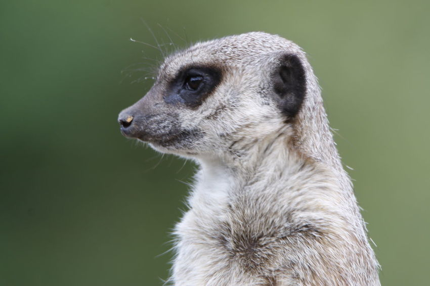 Animal Themes Animal Wildlife Animals In The Wild Carnivora Close-up Day Mammal Meercat Cute Furry Alert Eyes Meerkat Meerkat Meerkat, Cute Animals, Furry, Animal Close Up, Yellow, Zoo, Zoo Pics, Meerkat Pics Meerkats Standing Nature No People One Animal Outdoors