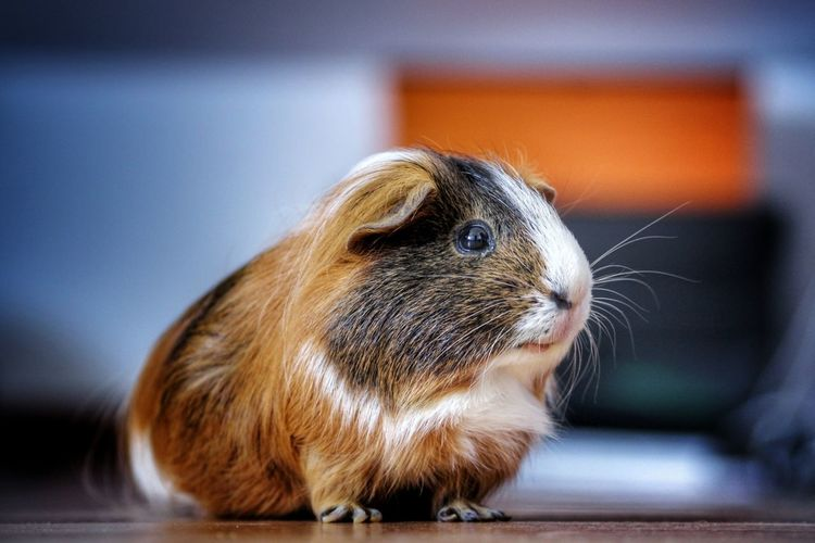 Close-up of guinea pig on floor