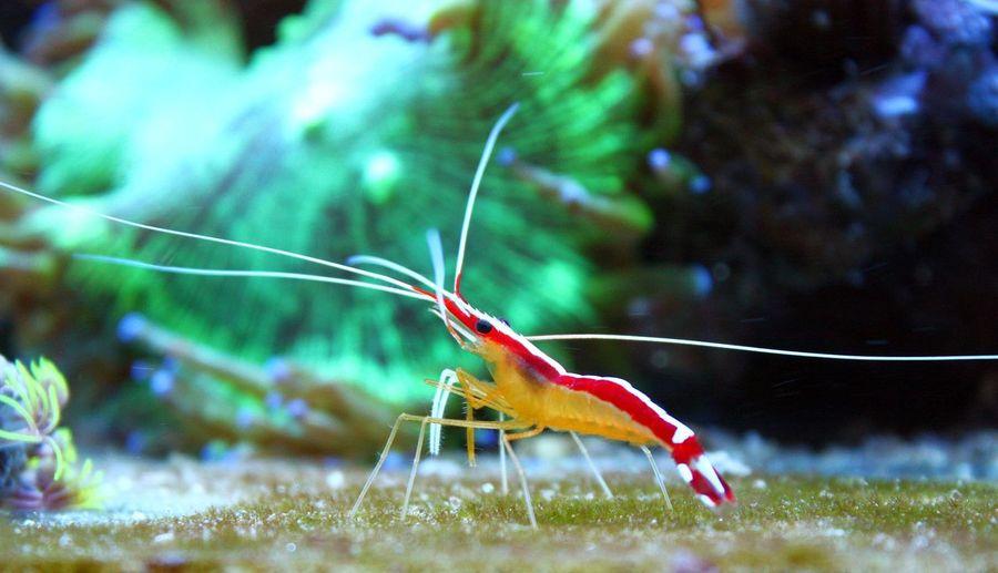 Beauty In Nature Close-up Crustacean Marine Shrimp Reef Reef Tank Shrimp Wildlife