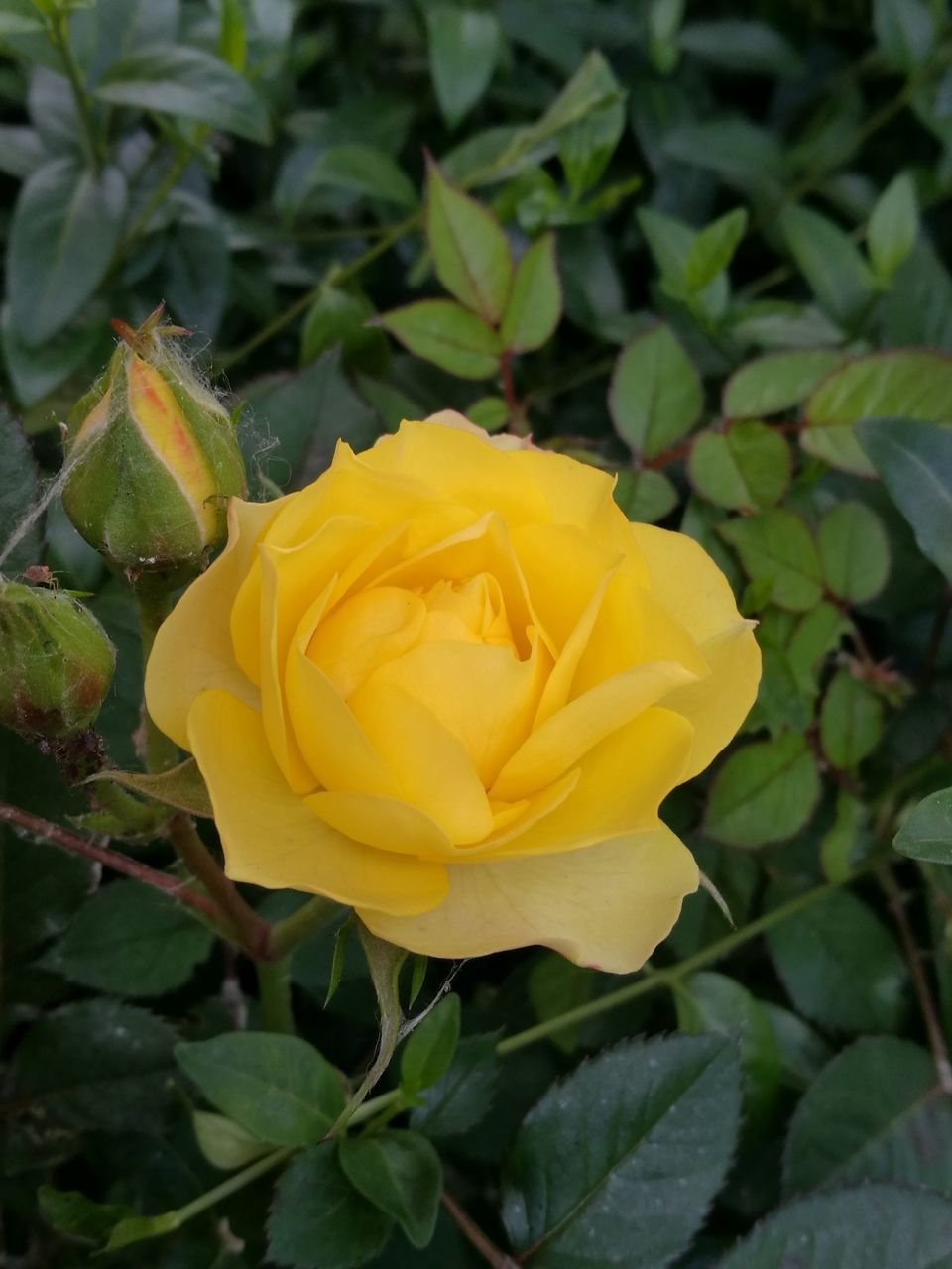 flower, yellow, petal, fragility, nature, beauty in nature, flower head, rose - flower, plant, freshness, growth, love, no people, blooming, close-up, leaf, outdoors, day