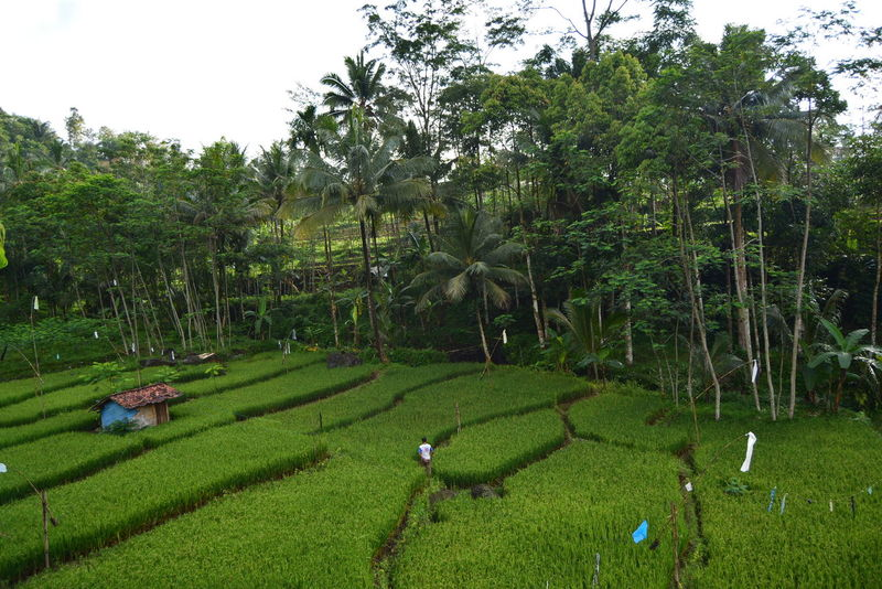 People And Places Landscape Green Agraris  Nature Photography Nikon Photography Nature Photooftheday Humaninterest Naturelovers Forest Eyeemphotography The Week On EyeEm Peopleandnature Village Lifestyle Indonesianphotography Agrarian People People