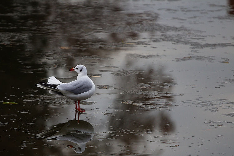 Animal Themes Animal Wildlife Animals In The Wild Beauty In Nature Bird Day Frozen Lake Ice Lake Nature No People One Animal Outdoors Reflection Seagull Wading Water