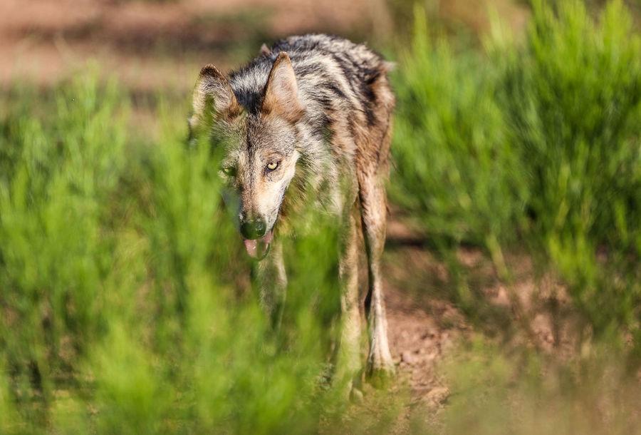 Lobo Gris Mexicano Cananea Sonora :* Lobo Mexico Nature Sonora Animal Cananea Conservation Especies Eye Face Outdoors Reserva Verde Wild Wildlife Wolfzuachis