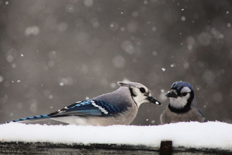 Low angle view of blue jays perching on snow covered roof