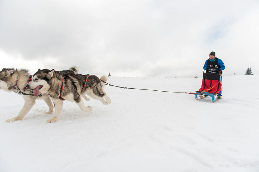 BELIS, ROMANIA - FEBRUARY 17, 2018: Musher racing at a public dog sled race show with husky dogs in the Transylvanian mountains Dog Sled Dog Sledding Dogs Husky Dogs Husky ♡ Running Winter Winter Sport Wintertime Animal Cold Temperature Dog Dogsled Dogsled Race Husky Huskyphotography Musher Mushers Race Samoyed Sled Dog Sledding Sleddog Snow Winter Competition