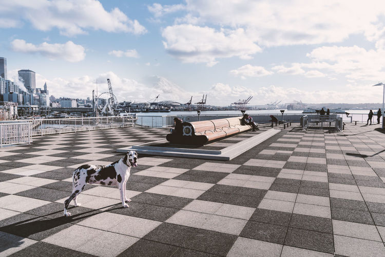 Happy harlequin great dane dog on checkerboard roof of Pier 66 on the Seattle Waterfront with Mount Rainier peaking through the clouds. Pier 66 Downtown Seattle Seattle Waterfront Checkerboard Pattern Camoflauge Travel Tourism Pets Great Dane Dog Companion Day Close-up Color Perspectives on Nature