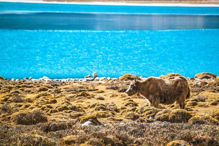 Sheep in a sea