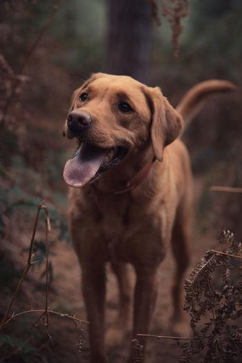 A pet portrait of a working labrador retriever dog in autumn woodland countryside