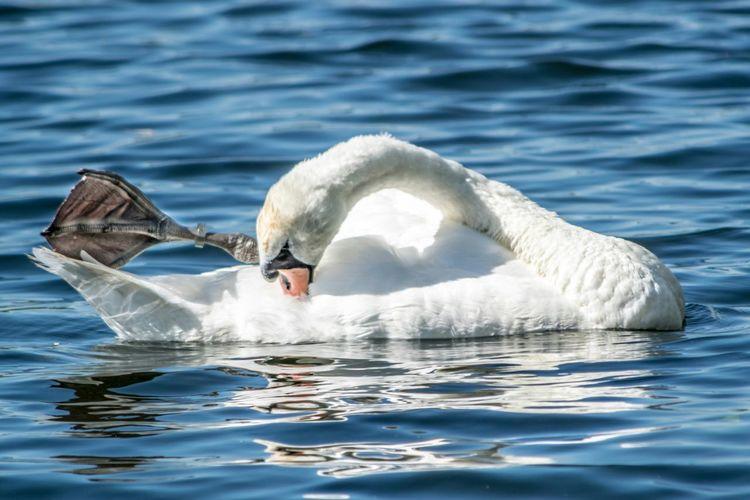 White swan swimming on lake