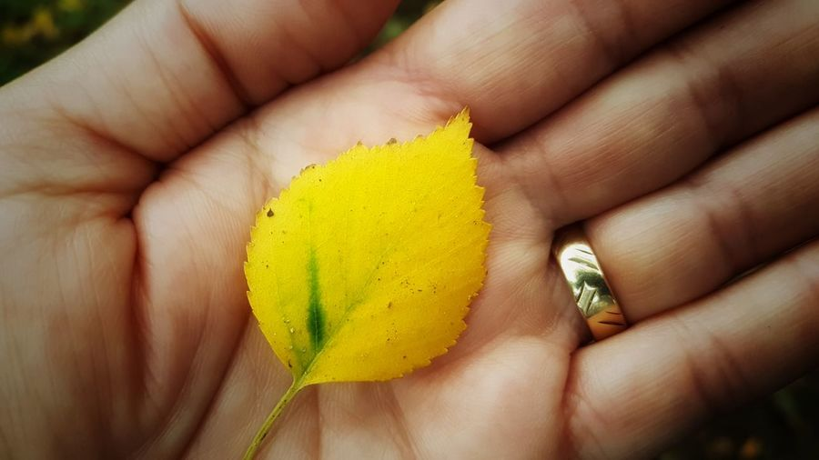 One Person Human Hand Human Finger Sheet Leaf Yellow Green Color Focus On Foreground Nature Outdoors