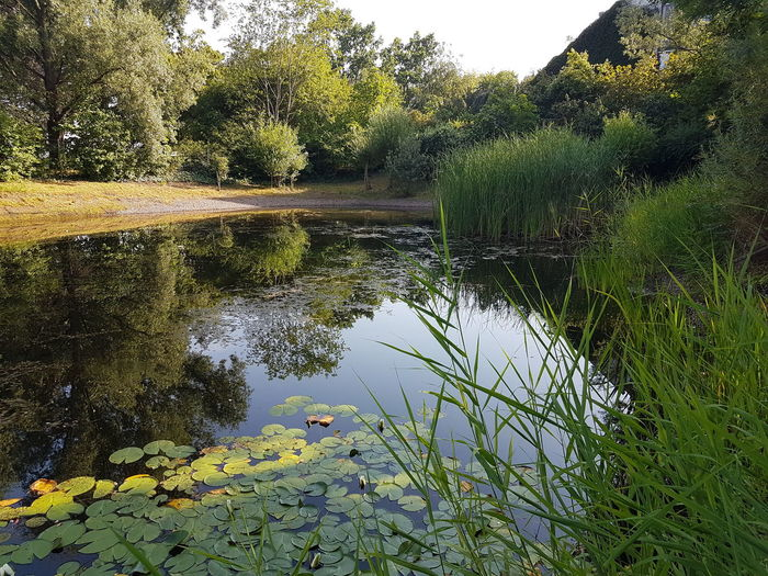 Teich Plant