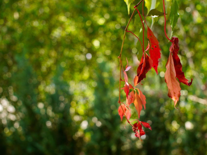 Creeper Plant Autumn Beauty In Nature Branch Close-up Creeper Plant Day Focus On Foreground Freshness Germany Growth Leaf Nature Naturelovers No People Outdoors Plant Plant Part Red Tree Vine Virginia Creeper Wine Woodbine