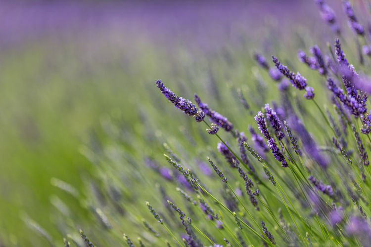 A field of lavender, with the focus on one flower Beauty In Nature Close-up Day Field Flower Flower Head Flowering Plant Fragility Freshness Growth Land Lavender Lavender Colored Nature No People Outdoors Plant Purple Selective Focus Tranquility Vulnerability