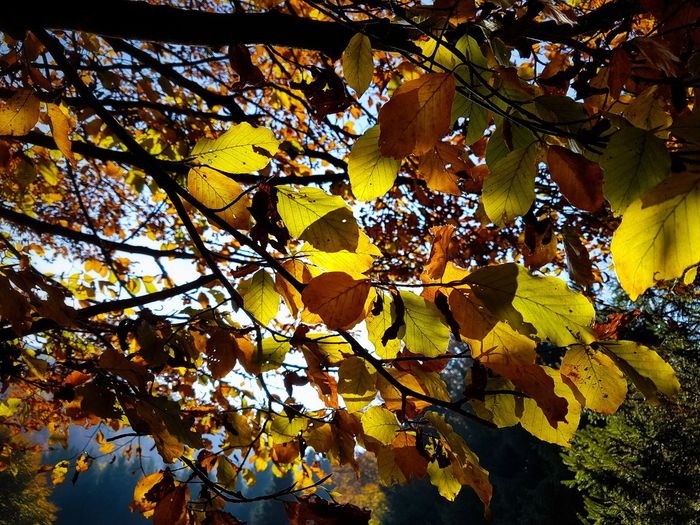 Tree Leaf Nature Autumn Growth Branch Yellow Beauty In Nature Day Outdoors Close-up Sky Forest Mountains Hiking Landscape Fagus Sylvatica Yellow Orange Autumn Colors Autumn Leaves Beauty In Nature