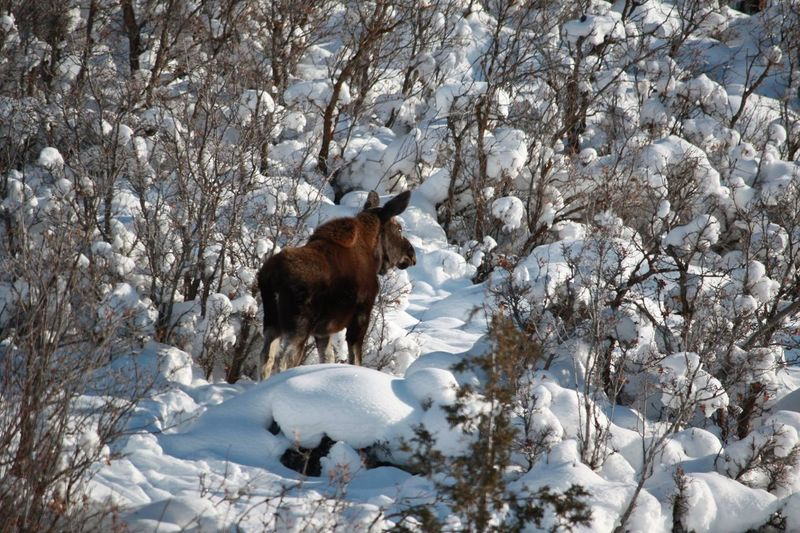 Moose standing by plants on snow covered field