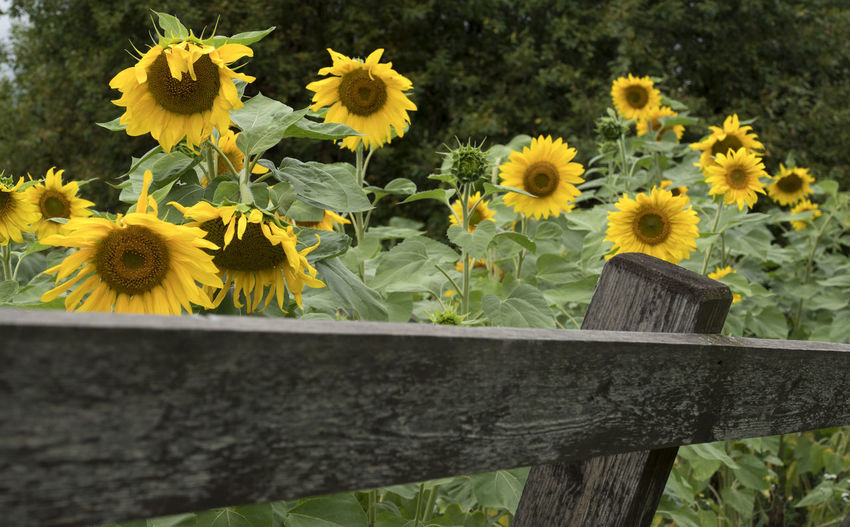 Blooming sunflowers in a private garden with wooden planks fence. Barrier Beauty In Nature Close-up Day Flower Flower Head Flowering Plant Focus On Foreground Fragility Freshness Growth Inflorescence Nature No People Outdoors Petal Plant Springtime Sunflower Sunflower; Garden; Summer; Sunflowers; Harvest; Bloom; Blossoming; Flower; Vegetables; Plant; Yellow; Seeds; Oil; Vegetarian; Vitamins; Growing; Healthy; Growth; Season; Leaf; Leaves; Green; Stem; Bright; Agriculture. Vulnerability  Wood - Material Yellow