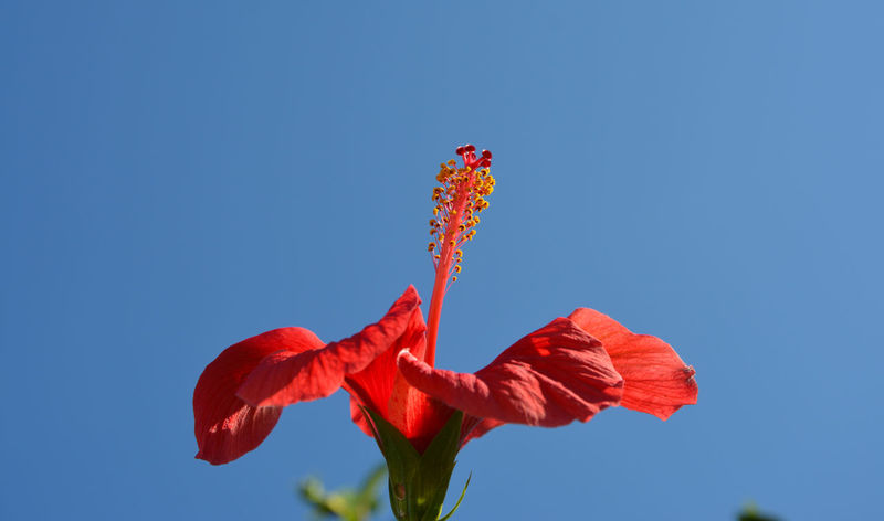 Beauty In Nature Clear Sky Close-up Day Flower Flower Head Fragility Freshness Ibiscus Nature Petal Plant Red Sky