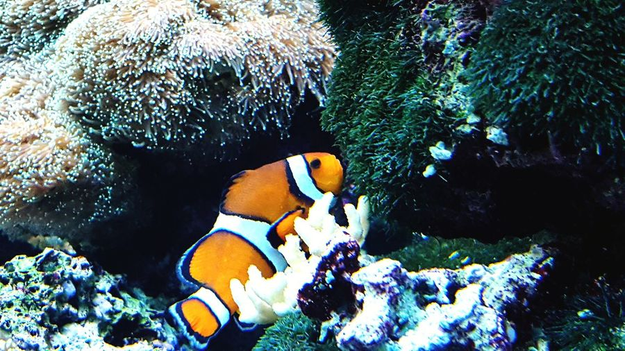 Underwater UnderSea Fish Sea Life Animals In The Wild Animal Wildlife Swimming Sea No People Animal Themes Water Day Nature Clown Fish Outdoors Mammal