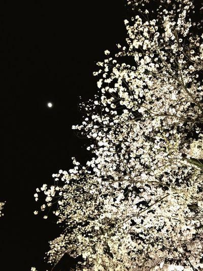 サクラ Cherry Blossoms Tokyo,Japan Spring Flowers Spring Flowers Chidorigafuchi Moon