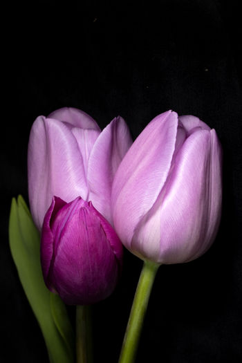 Close-up of pink tulip flowers against black background