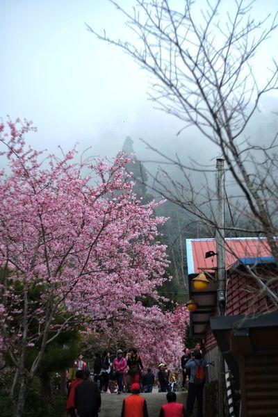臺灣 恩愛農場 Nature Tree Sky Cherry Blossom Blossom Springtime Cherry Tree Growth Nature Branch Outdoors Flower Cloud - Sky Beauty In Nature Day People Taiwan