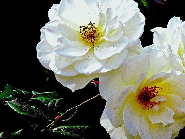 White Roses Roses Flowerporn Flowers
