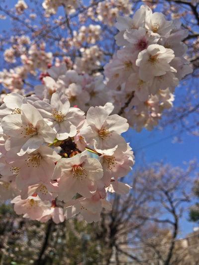 Cherry Blossoms Blossom Cherry Tree Chery Flower Flowering Plant Freshness Nature Springtime Tree White Color