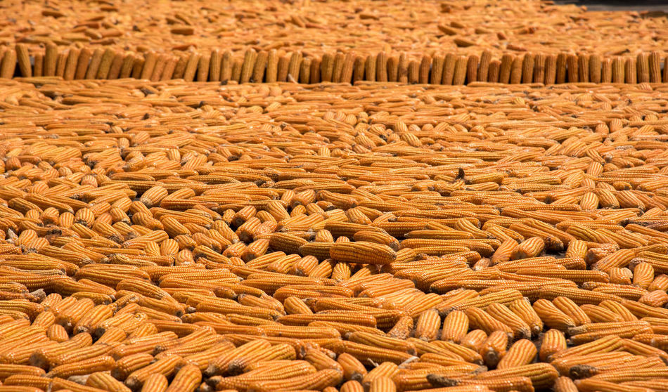 Corns left to dry on the roof top at a village house. This practice is done at most of the villages at Himalayas. Orange Orange Color Corns Nikon Corn Cornfield Farming Popcorn Village Himachalpradesh Mountains Nikonindia Cornfield Outdoors Food Day Nature Close-up