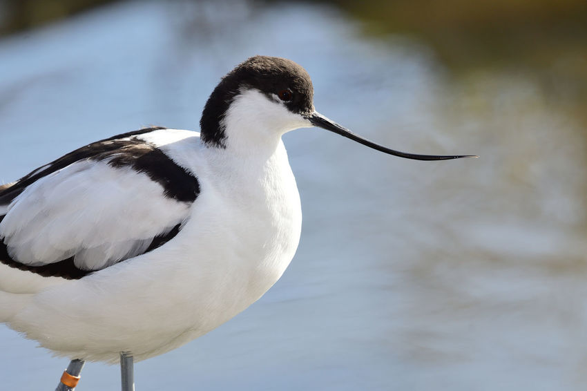 Animals In The Wild Avocet Check This Out EyeEm Best Shots EyeEm Nature Lover Low Angle View Nature Nature Photography Taking Photos Animal Themes Animal Wildlife Beauty In Nature Bird Birds Close-up Day Focus On Foreground Nature_collection No People One Animal Outdoors Portrait Selective Focus Water Water Bird