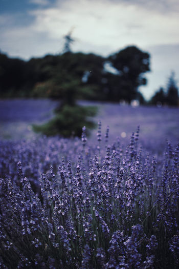 Beauty In Nature Cloud - Sky Day Field Flower Flowering Plant Focus On Foreground Fragility Freshness Growth Land Lavender Nature No People Outdoors Plant Purple Selective Focus Sky Tranquil Scene Tranquility Vulnerability
