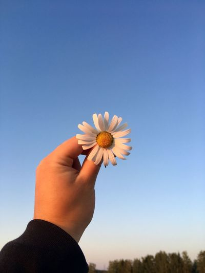 Close-up of hand holding white flower against clear sky