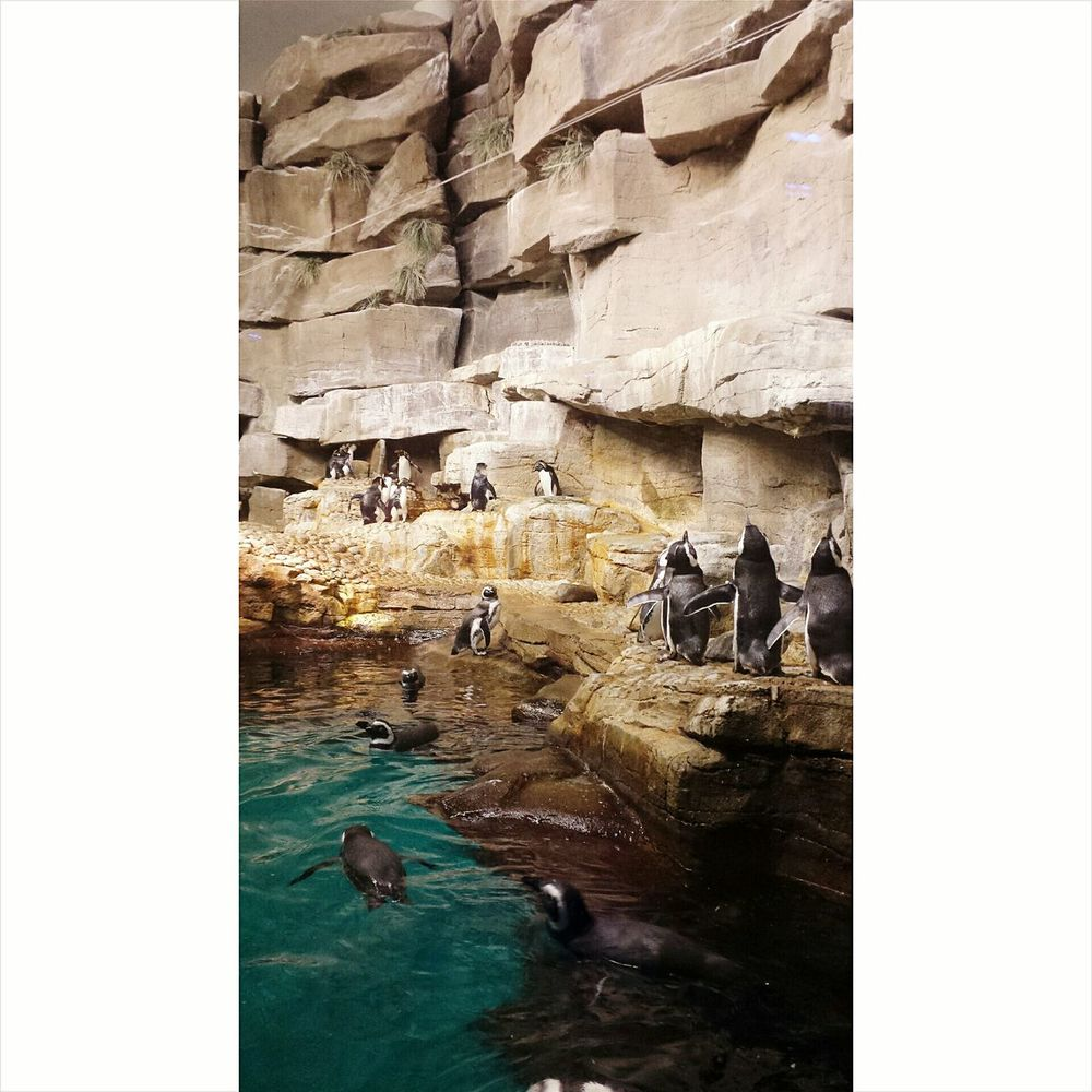 Penguins Sheddaquarium Water Animals