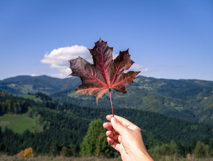 Cropped hand holding maple leaf against clear sky