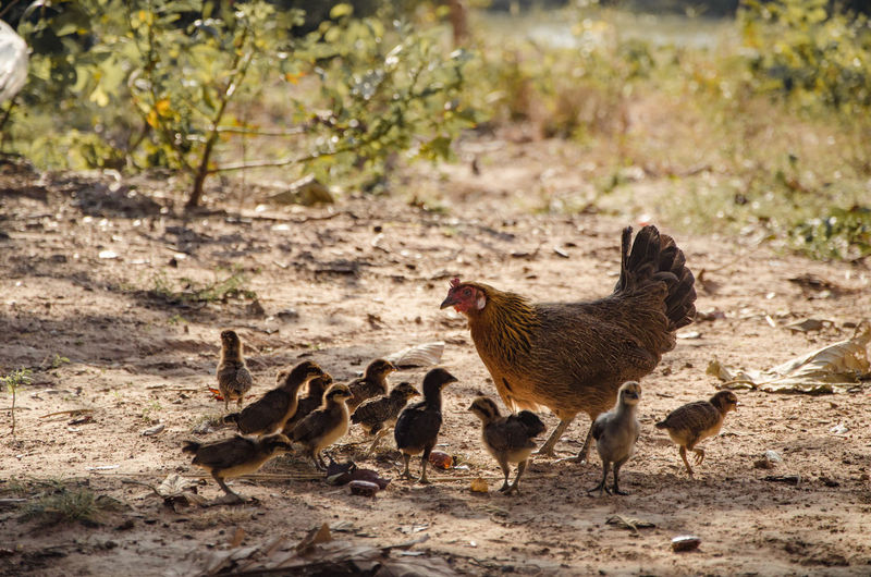 Hen With Baby Chickens On Field