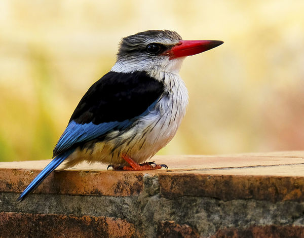 Kingfisher Animal Themes Animal Wildlife Animals In The Wild Beak Beautiful Bird Bird BirdLover🐦💞 Close-up Day EyEmNewHere Feathered Friends Focus On Foreground Kingfisher Bird Love Photography In Nature Lovely Colours Nature Naturelovers No People One Animal Outdoors Perching