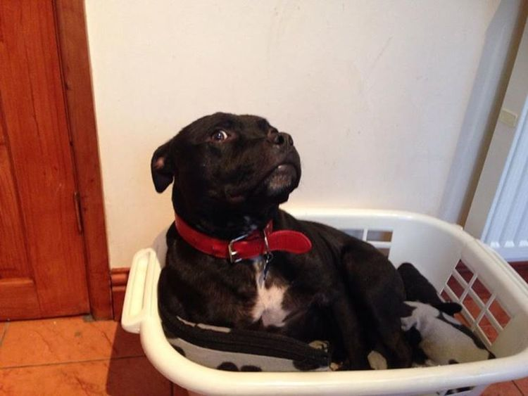 Mr stafford aka paddy sat in wash basket Staffies There Softer Than You Think Staffordshire Bull Terrier I Love My Dog Staffylovers