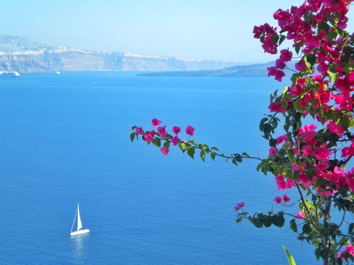 Pink bougainvillea flowers against aegean sea