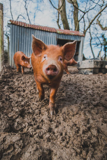 Mammal Animal Themes Animal Domestic Animals Pets Domestic One Animal Vertebrate Portrait Dog Canine Pig Looking At Camera No People Nature Tree Livestock Standing Day Young Animal Outdoors Animal Head  Snout Mouth Open