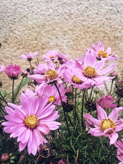 Feelining like Alice in Wonderland. Flower Nature Petal Pink Color Fragility Beauty In Nature Blooming Pink Freshness Growth Plant Good Scent Flower Head