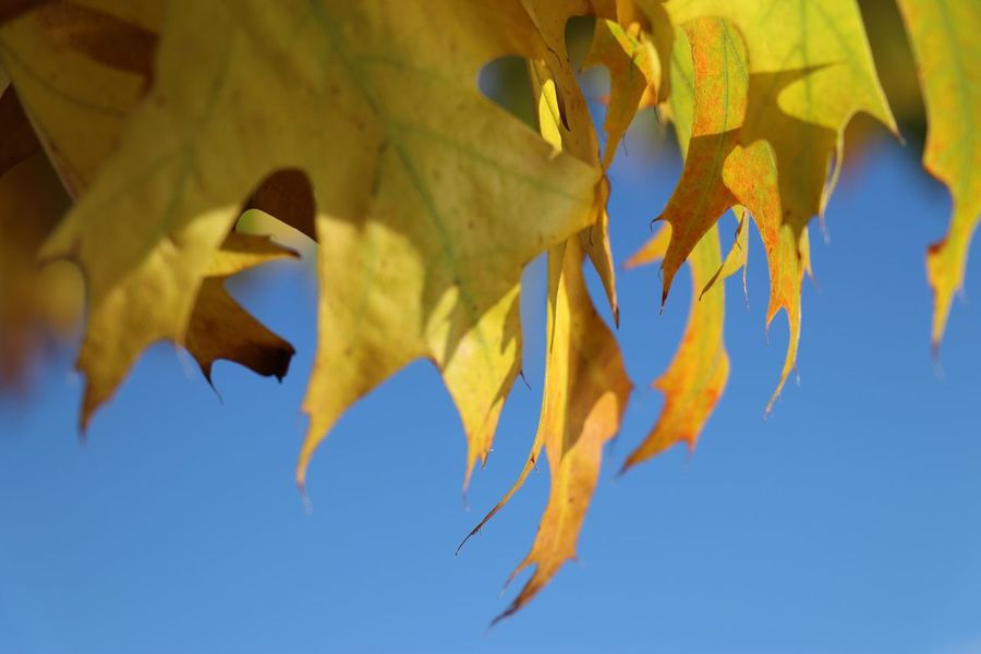 EyeEm Selects Low Angle View No People Yellow Leaf Close-up Outdoors Day Hanging Nature Beauty In Nature Sky UnderSea Goldenlight Autumn Leaves Autumn🍁🍁🍁 Indiansummer Colorful