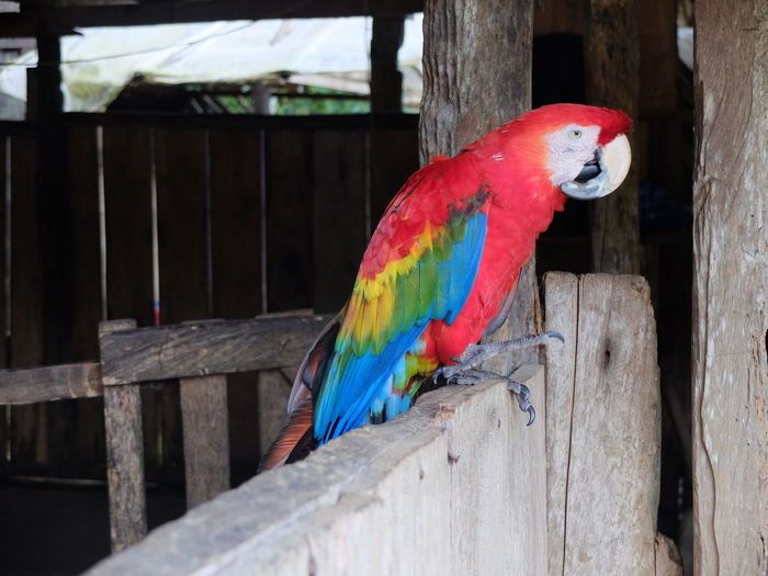 Scarlet macaw perching on retaining wall