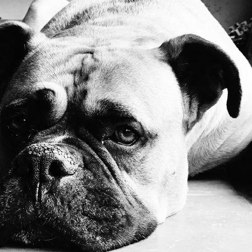 #blackandwhite #boxer #dogeyes #Eyes Animal Themes Close-up Dog Domestic Animals One Animal Pets