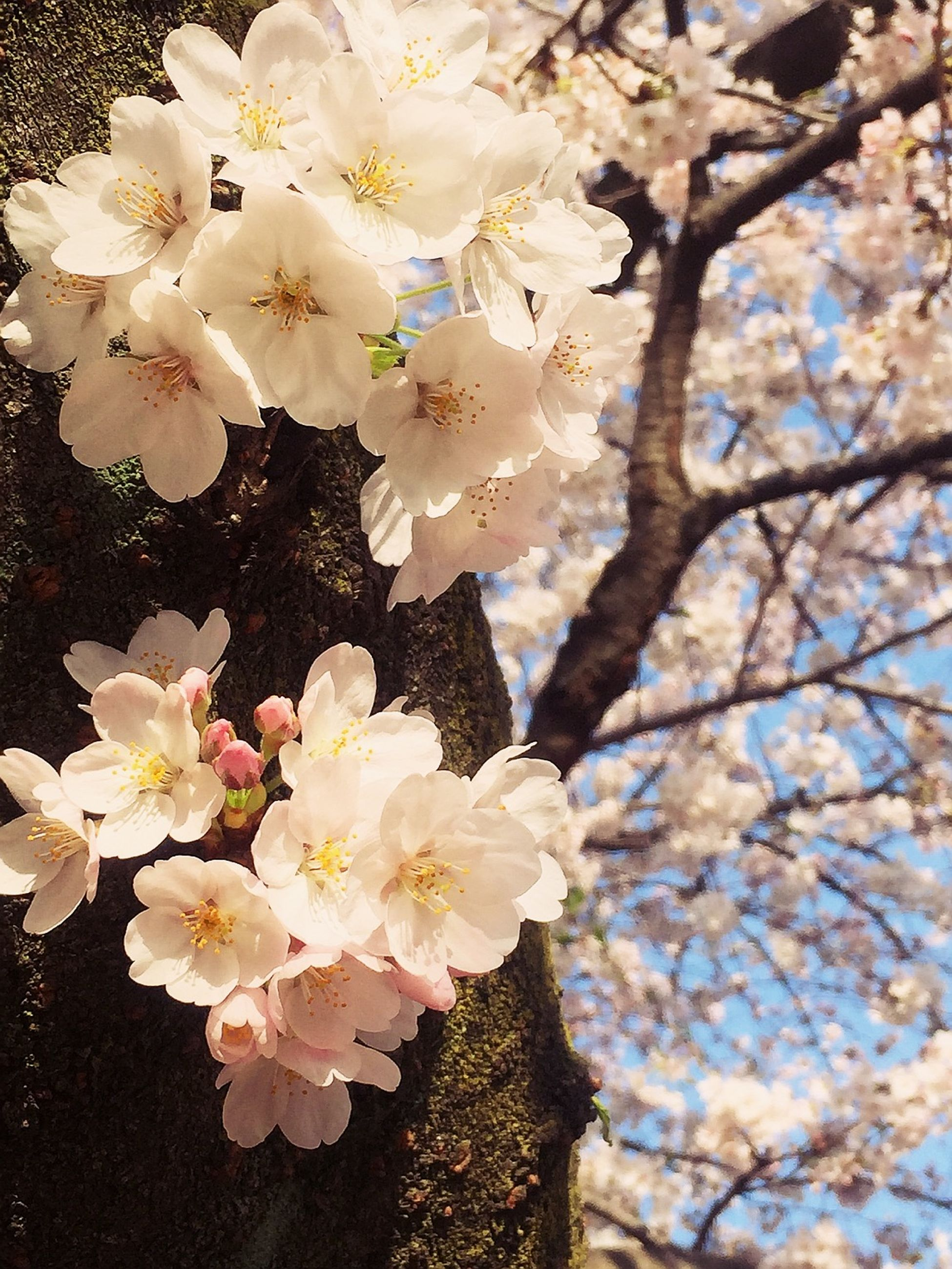 flower, freshness, fragility, petal, growth, beauty in nature, branch, blossom, cherry blossom, nature, flower head, tree, blooming, in bloom, white color, springtime, close-up, cherry tree, botany, pink color